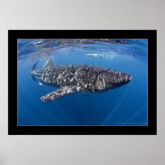 Tiburón de ballena #5 póster