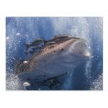 Tiburón de ballena que nada bajo el agua postal