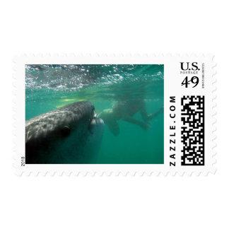 Tiburón de ballena y nadador sello