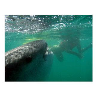 Tiburón de ballena y nadador postal