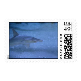 Tiburón de Bonnethead Envio