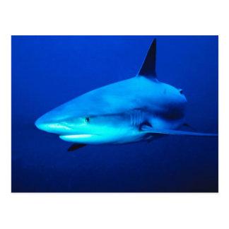 Tiburón de Bull Tarjetas Postales