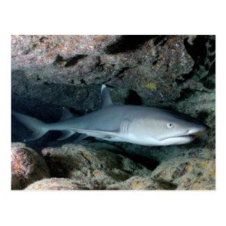 Tiburón de Silvertip Postales