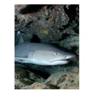 Tiburón de Silvertip Tarjeta Postal