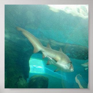 Tiburón de tigre de arena póster