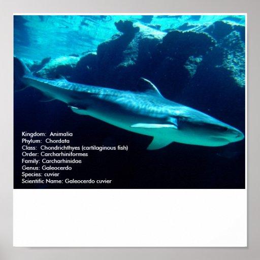 Tiburón de tigre, nombre del scientifc póster