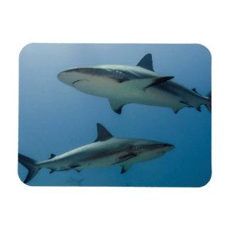 Tiburón del Caribe del filón Imán