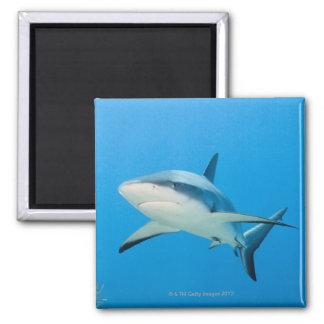 Tiburón del Caribe del filón (perezi del Carcharhi Imán Cuadrado