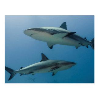 Tiburón del Caribe del filón Postal