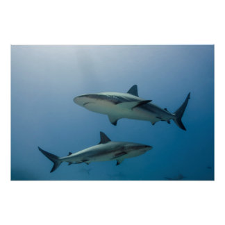 Tiburón del Caribe del filón Póster