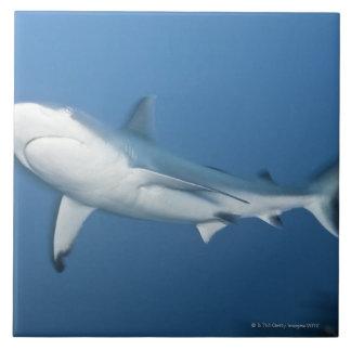 Tiburón gris del filón (amblyrhynchos del Carcharh Azulejo Cuadrado Grande