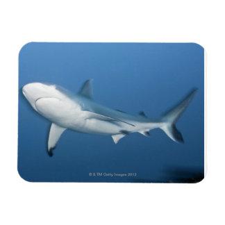 Tiburón gris del filón (amblyrhynchos del Carcharh Imanes De Vinilo