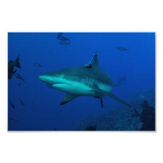 Tiburón gris del filón en el filón de Osprey Fotografía