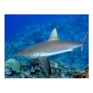 Tiburón gris del filón tarjetas postales