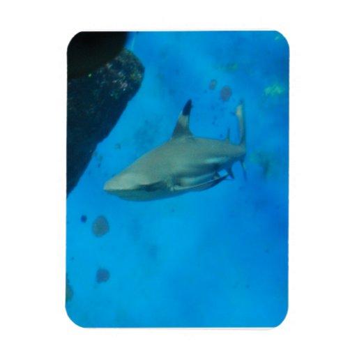 Tiburón inclinado pequeño negro imán
