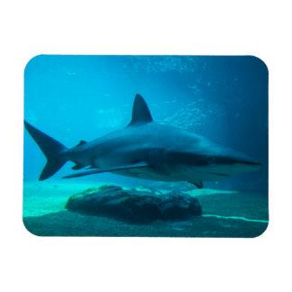 Tiburón oscuro (Carcharhinus Obscurus), Ushaka Iman