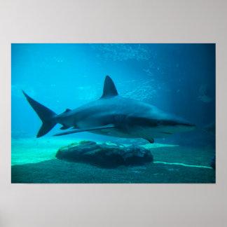 Tiburón oscuro (Carcharhinus Obscurus), Ushaka Posters