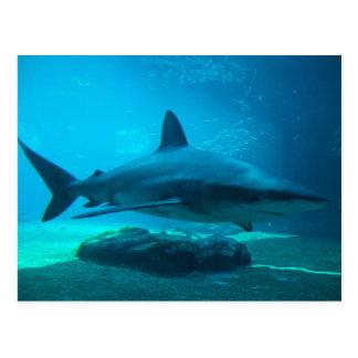 Tiburón oscuro (Carcharhinus Obscurus), Ushaka Tarjetas Postales