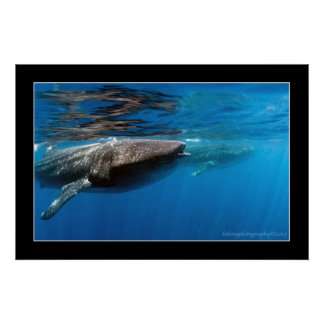 Tiburones de ballena en Holbox Póster