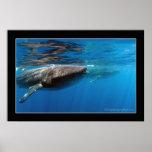 Tiburones de ballena en Holbox Posters