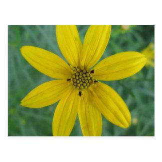 Tickseed Coreopsis Yellow Garden Flower Postcard