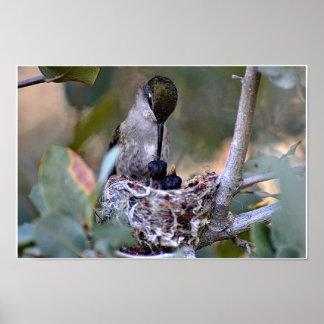 Tiempo de la alimentación del colibrí póster