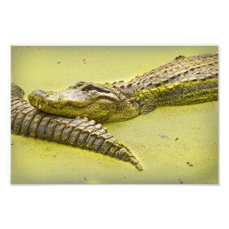Tiempo de la siesta del cocodrilo en lenteja de cojinete