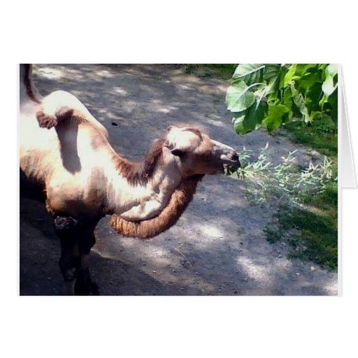 ¡Tiempo del camello! Tarjeta De Felicitación