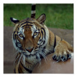 tiger14-10x10 posters