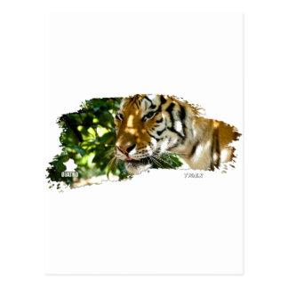 Tiger 01 postcard