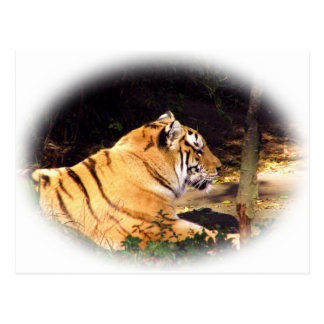 Tiger_1001 Postcard
