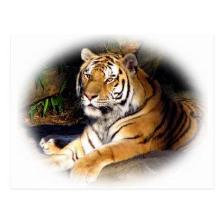 Tiger_1151 Postcard