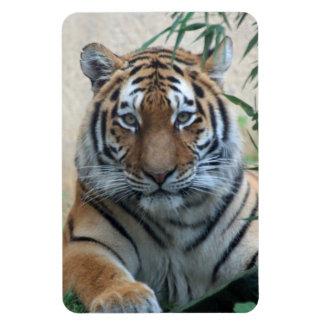 Tiger_20171103_by_JAMFoto