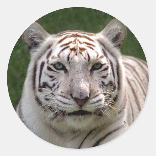 Tiger_3949e blanco pegatina redonda