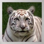 Tiger_3949e blanco poster