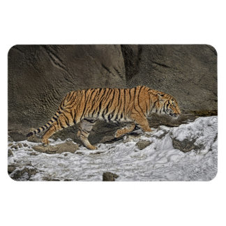 Tiger 8 Month Old Cub Stalking in Snow Rectangular Photo Magnet