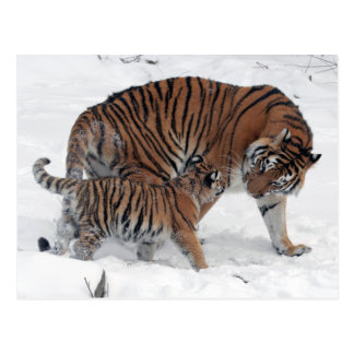 Tiger and cub in snow beautiful photo postcard