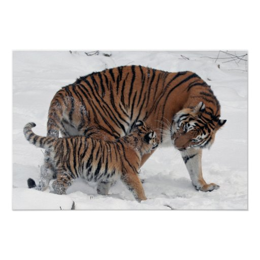 Tiger and cub in snow beautiful photo print poster