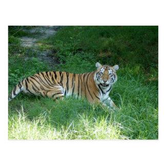 Tiger_Aroara011 Postcard