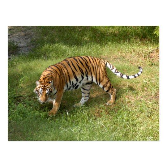 Tiger_Aroara027 Postcard