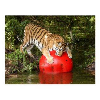 Tiger_Aroara040 Postcard