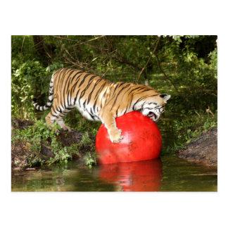 Tiger_Aroara046 Postcard