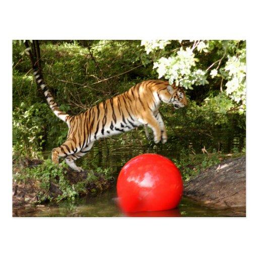 Tiger_Aroara047 Tarjeta Postal