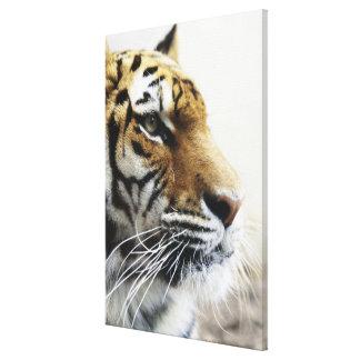 Tiger. Asahiyama Zoo, Hokkaido, Japan Canvas Print