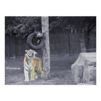 Tiger at Feeding Time Poster