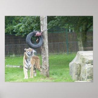 Tiger at Feeding Time Print