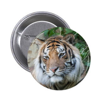 tiger at the zoo buttons