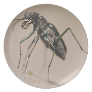Tiger Beetle, Cicindela ocellata, adult on sand, Dinner Plate