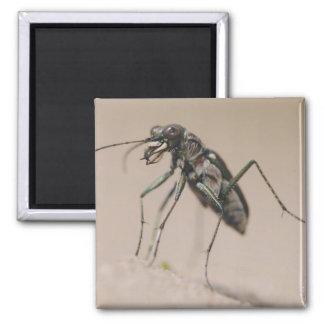 Tiger Beetle, Cicindela ocellata, adult on sand, Magnet