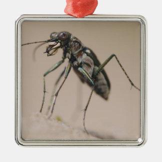 Tiger Beetle, Cicindela ocellata, adult on sand, Metal Ornament